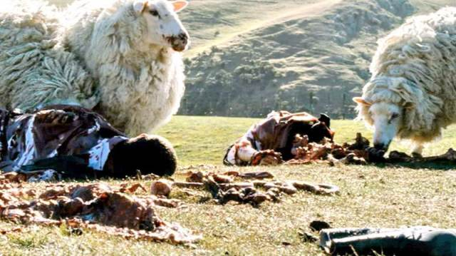 Killer sheep.